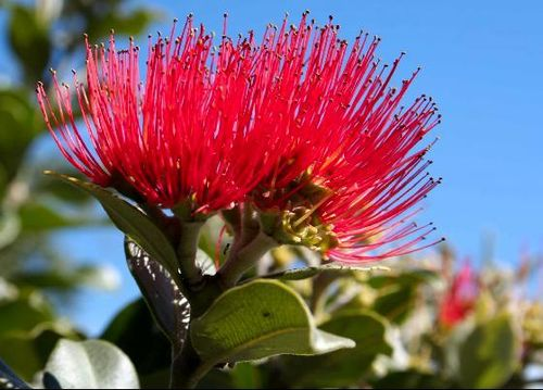 3289902-Pohutukawa_flower_the_New_Zealand_Christmas_Tree-North_Island